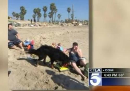 burnese mountain dog saves couple in rip current