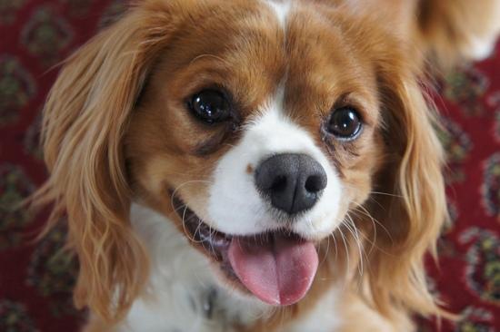 happy cavalier