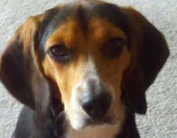 Molly Beagle Craigslist Roanoke