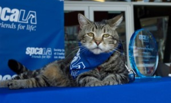 Tara tabby cat wins spcaLA Hero Dog award