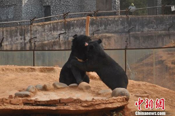 man thought Asian black bears were dogs