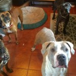 Rescued Pit Bulls Save 3-Year-Old Girl from Bear