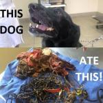 Vet Removes 62 Hair Bands, Undies and More from Lab's Stomach