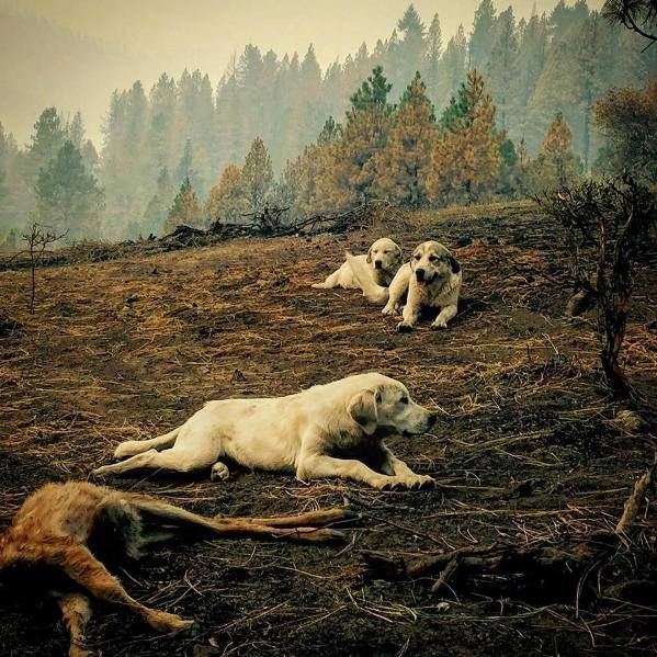 sheep dogs guard dead fawn after wildfire