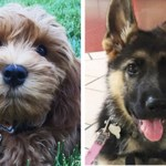 Two Cancer-Sniffing Dogs to Join UC Davis Medical Staff
