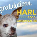 Puppy-Mill Survivor Harley is 2015 American Hero Dog