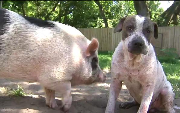pig and dog best friends got lost