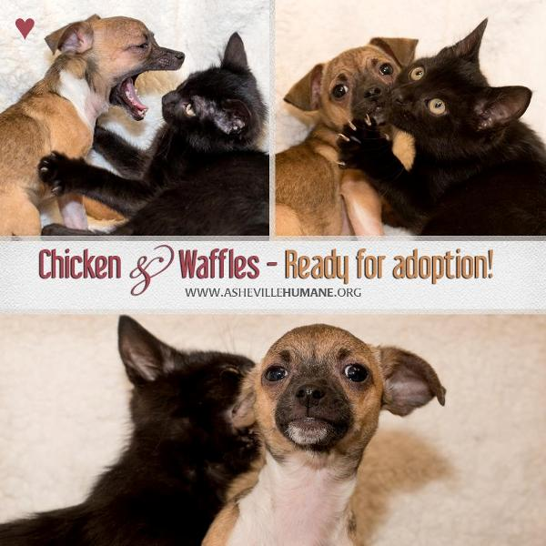 Chicken and Waffles puppy and kitten BFFs outtakes