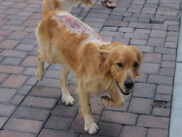 Fergus golden retriever chemical burns on back