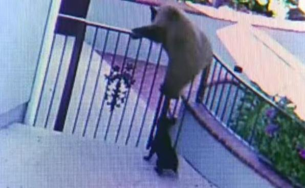 French bulldog chases bear over fence