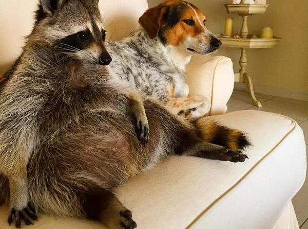 raccoon and dog on couch