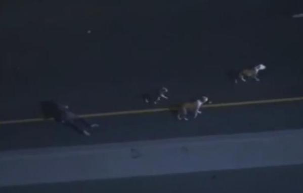 dogs loose on freeway after car chase