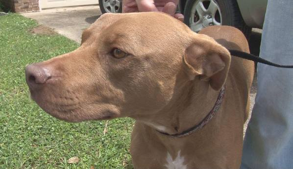 pit bull gets hero award for saving family from intruders