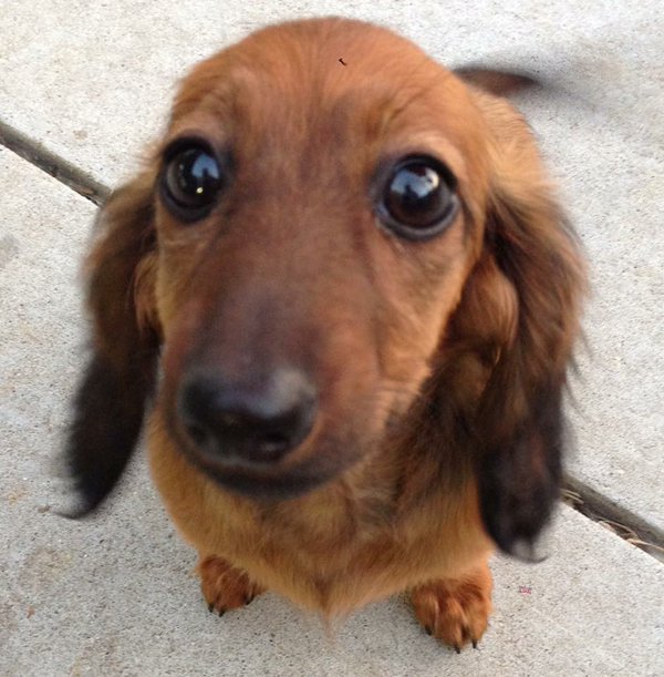 Henry, dachshund died during PetSmart grooming