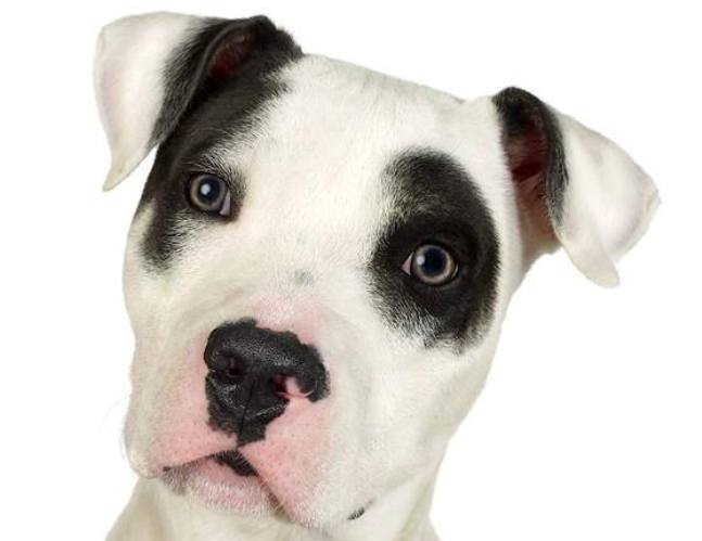 Montreal SPCA opposes pit bull ban