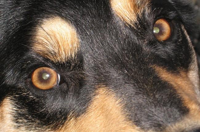 rottweiler eyes