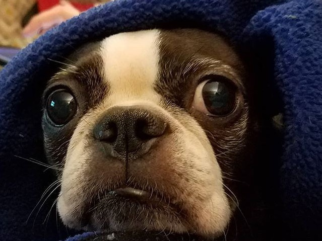 fourth of july dog under blanket