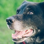 10,000 Pets Wanted for the Dog Aging Project Pack