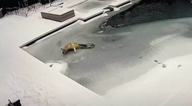 Dog saved after falling into frozen Texas swimming pool