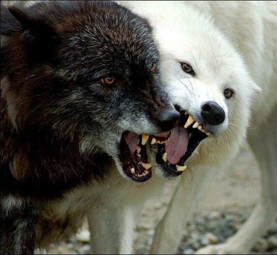 μάχη καλού κακού λύκοι