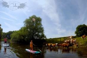 Flusskühe Lippe