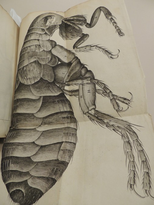 Illustration of a flea from Robert Hooke's Micrographia