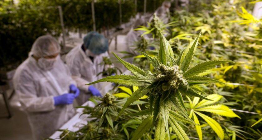 Svenska bolag ingår avtal för odling och produktion av cannabis.