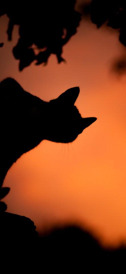 Halloween-cat-iphone-wallpaper-idownloadblog-saso-tusar