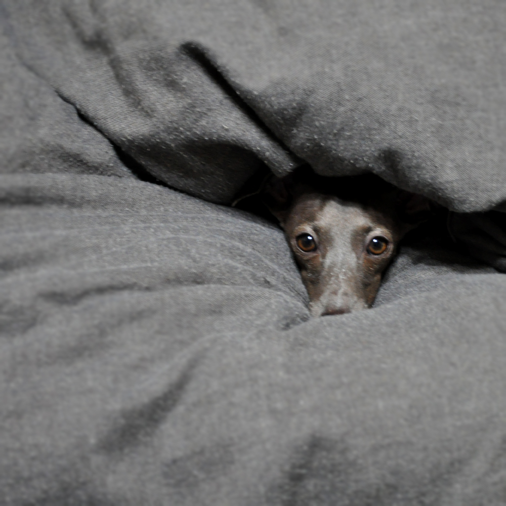 ITALIAN GREYHOUND BUONO!