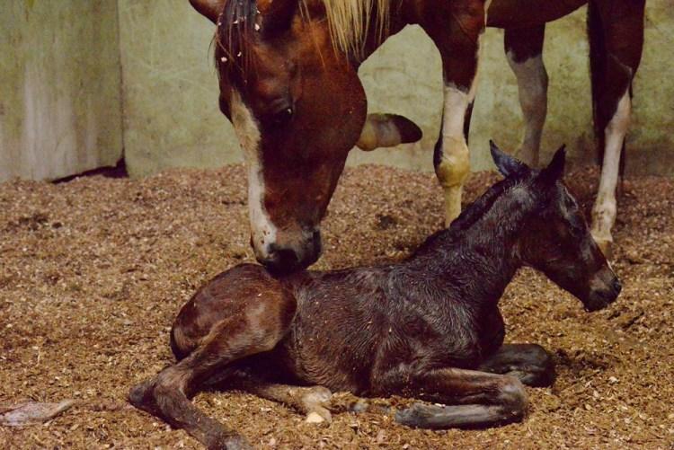 《悠客論馬》馬匹的繁殖準備