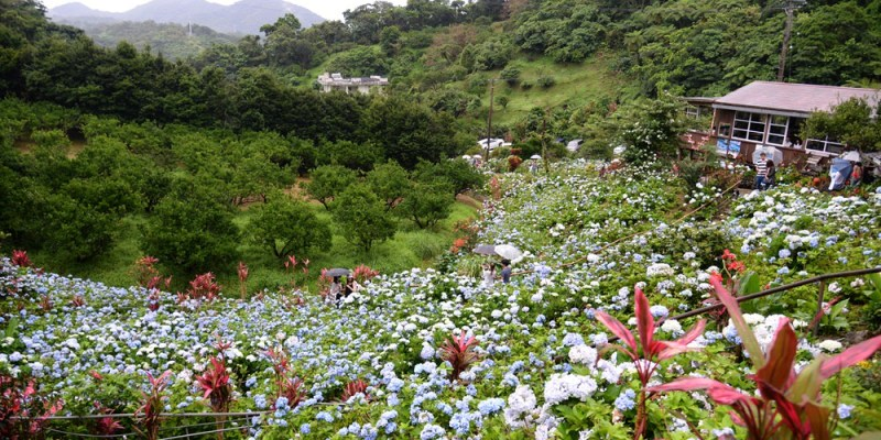 日本沖繩季節限定|饒平名繡球花園 藍色夢幻公主繡球花開遍北部森林 形色識花神器APP超給力