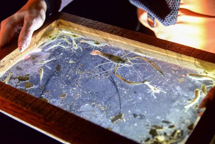 台東夜間探險行程 瘋狂玩家 達人帶路 鹿鳴溪夜間抓溪蝦體驗