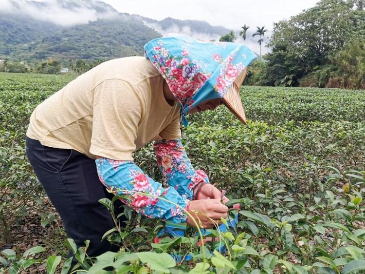 台東玩食茶體驗 鹿野高台x食農體驗-茶鄉採茶趣 鹿野農遊樂園