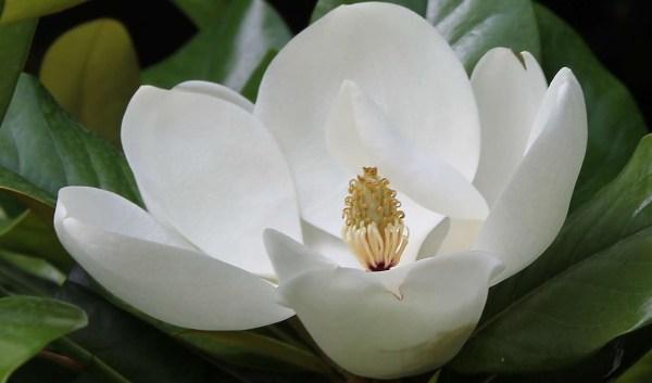 Белый цветок магнолии Фото Италия
