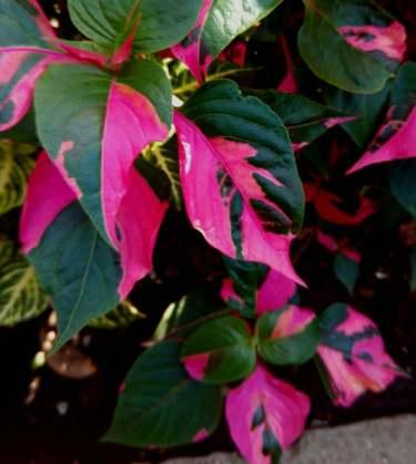le foglie fucsia a Villa Taranto - Verbania