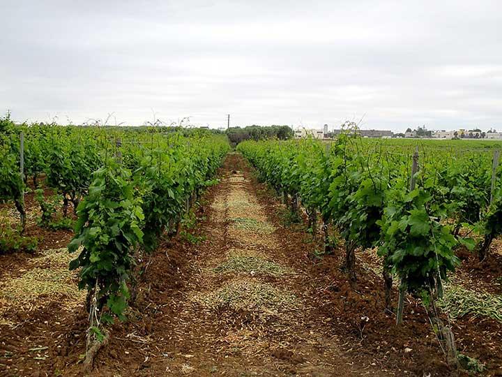 Vineyard, Apulia, Italy