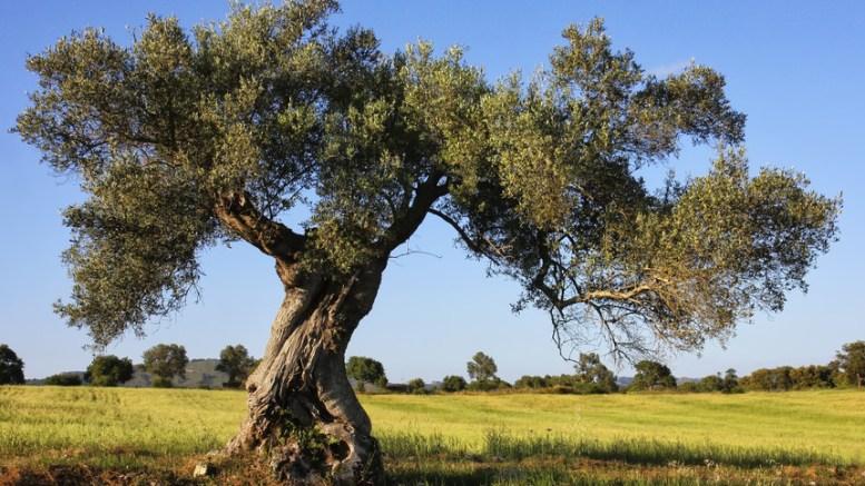 Olivi in Puglia