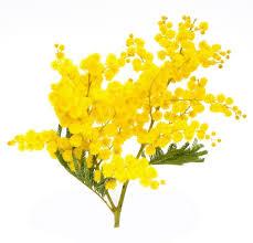 mimosa_festa_della_donna