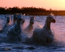 Camargue Horses at sunrise