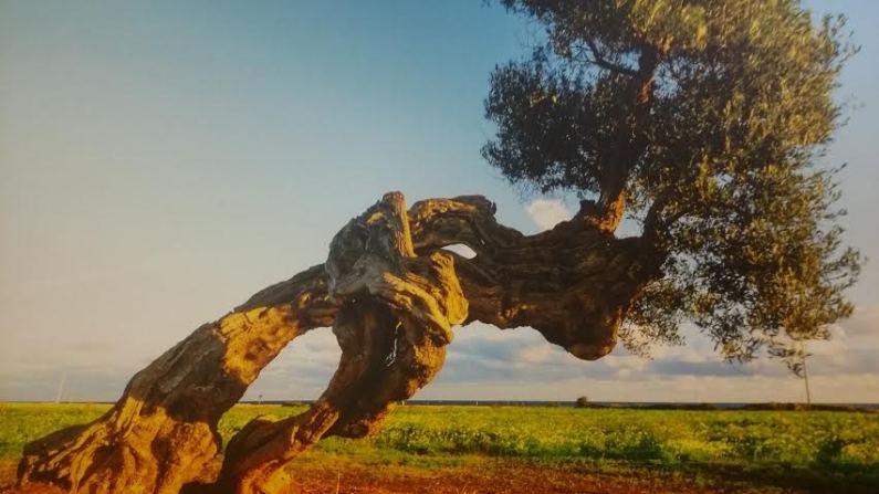 Centennial apulian olive tree