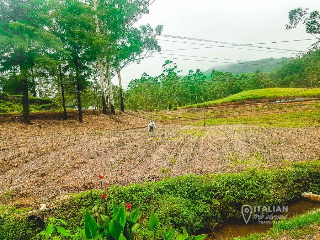 Tea fields in Kandy Sri Lanka