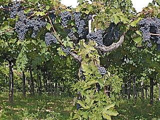 Grapes-Montepulciano