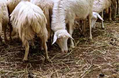 Pecore dalle quali ricavare il celebre Cacio pecorino di Pienza