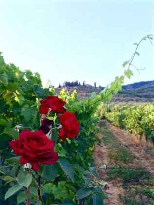 Rose piantate all'inizio del filare per percepire i primi segnali delle malattie dell'uva