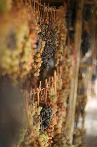 Grappoli di uva a bacca bianca per il Vinsanto