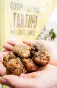 I tartufi marzuoli trovati dai soci della Cooperativa del Tartufo delle Crete senesi