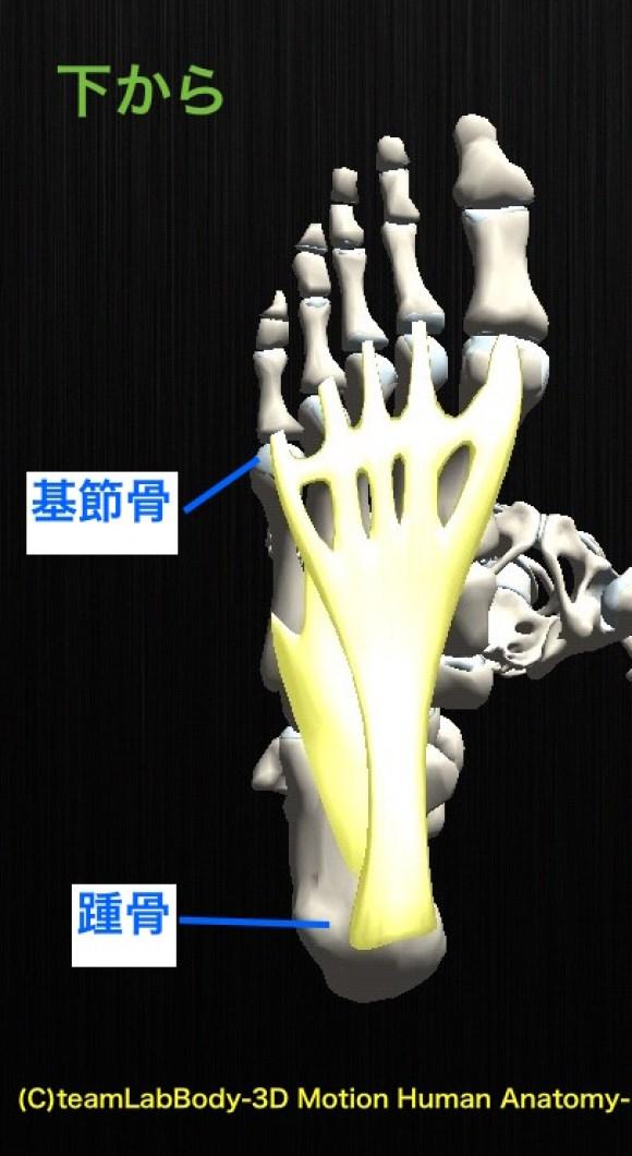 足底腱膜 下