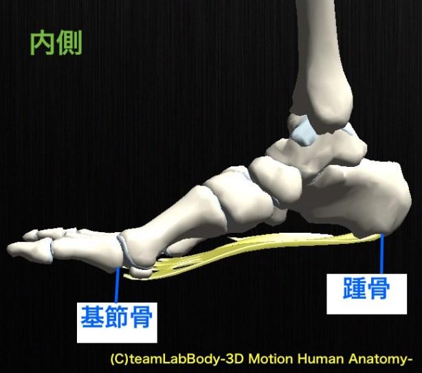 足底腱膜 内側