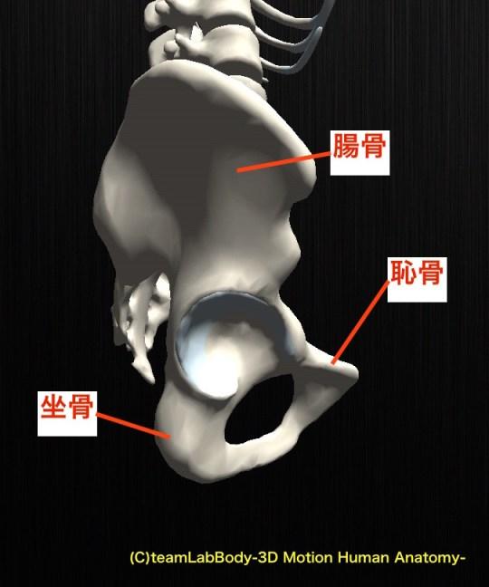 腸骨 恥骨 坐骨