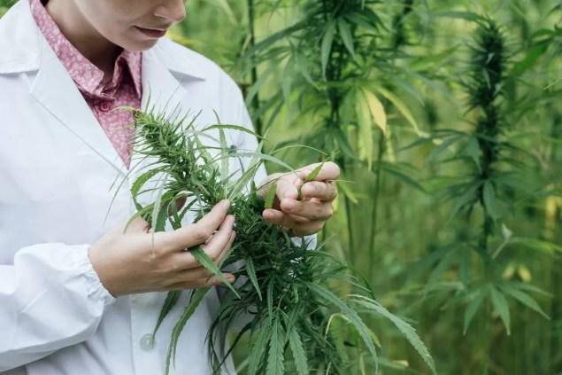 Resultado de imagen de Investigación en cannabis